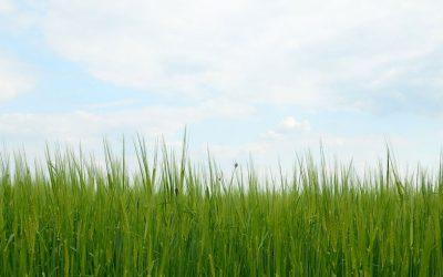 L'herbe d'orge, un super-aliment et ses bienfaits !