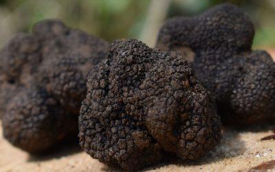 La truffe en cuisine – Un diamant rare à valoriser